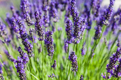 Lavander field Stock Photo