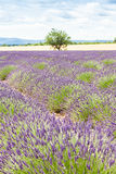 Lavander field Royalty Free Stock Photos