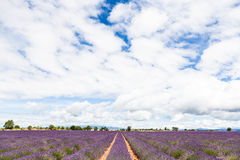 Lavander field Stock Image