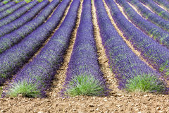 Lavander field Royalty Free Stock Photo