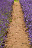 Lavander. Field in summertime is growing bigger Royalty Free Stock Image