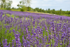 Lavander. Field in summertime is growing bigger Stock Photos