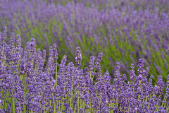 Lavander. Field in summertime is growing bigger Stock Image