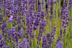 Lavander. Field in summertime is growing bigger Royalty Free Stock Photography