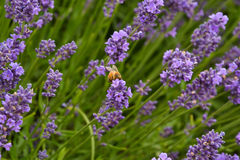 Lavander. Field in summertime is growing bigger Royalty Free Stock Images