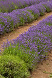 Lavander. Field in summertime is growing bigger Stock Photo
