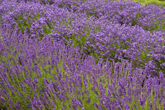 Lavander. Field in summertime is growing bigger Stock Images
