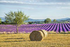 Lavander fields with hay rolls on the front view Royalty Free Stock Image