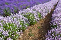 Lavander fields in Heacham,Great Britain. Royalty Free Stock Image