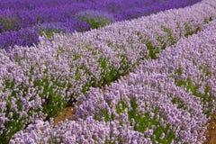 Lavander fields in Heacham,Great Britain. Stock Photo