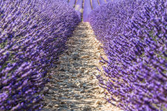 Lavander fields Royalty Free Stock Photo