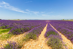 Lavander Fields Stock Image