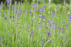 Lavander flower close up. Lavander flowers close up in the field Royalty Free Stock Photo