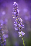 Lavander flower Stock Photography