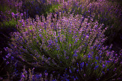 Lavander flower in Crimea. Sunset light Stock Image