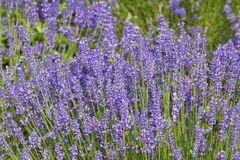 Lavander flower field Stock Photos