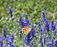 Lavander Flower Polination. Butterfly Polination Lavander Flower on the field Royalty Free Stock Images