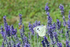 Lavander Flower Polination. Lavender Flower Polination by Butterfly Royalty Free Stock Photo