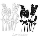 Lavander flower vector. Stock Photo