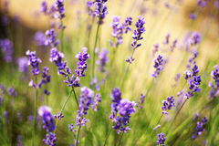 Lavander Flowers. Summer garden view: lavander flowers Stock Image