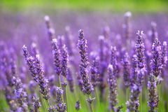 Lavander flowers Royalty Free Stock Photography