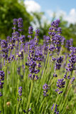 Lavander flowers. Closeup image of violet lavender flowers on a sunny day Stock Photography