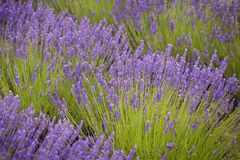 Lavander flowers Stock Images