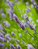 Lavander and flying bee Stock Images