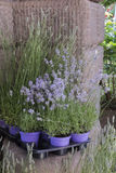 Lavander in the garden Stock Photography