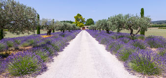 Lavander garden Royalty Free Stock Photography