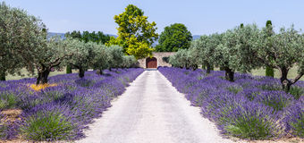 Lavander garden Royalty Free Stock Photos