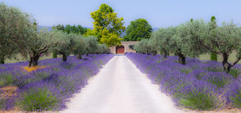 Lavander garden Stock Photography