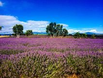 Lavander in the landscape Royalty Free Stock Photos