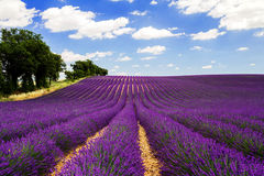 Lavander landscape. The typical purple lavander fields in Valensole, Provence Royalty Free Stock Photography