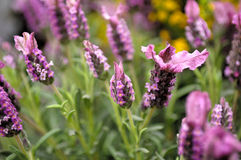Lavander,a lavender flowers Royalty Free Stock Images
