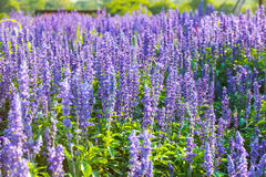 Lavander. This photo are lavander garden taken at Khoayai Thailand Stock Image