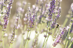 Lavander plant and bee. Close up Royalty Free Stock Photography