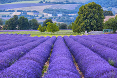 Lavander pola w Provence Obraz Royalty Free