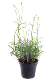 Lavander in pot Royalty Free Stock Image