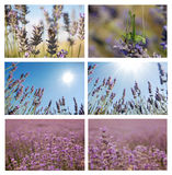Lavander set. Set of six pictures with lavander closeups, horisont and over sky. Environmental natural lavender сollage over sky royalty free stock photo