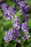Lavander Stems Stock Image