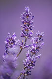 Lavander Stems Stock Images