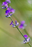 Lavander Stems Royalty Free Stock Images