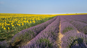 Lavander and sunflower in provence Stock Photos