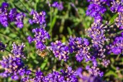 Lavander y abeja Foto de archivo