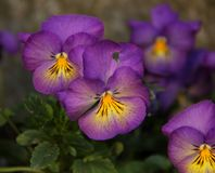 Lavander and Yellow Pansies. Lavender and Yellow Pansies Viola blooming in a garden in Stavanger, Norway Stock Images