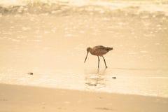 Lavandera en la playa Foto de archivo