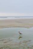 Lavandera en la playa Fotos de archivo libres de regalías