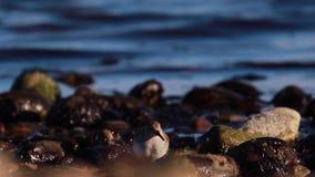 Lavandera, pájaro que camina del mar, cazando y tambaleandose a lo largo de los guijarros costeros de un estuario en Escocia por  almacen de metraje de vídeo