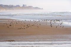 Lavanderas que alimentan en la playa Fotos de archivo libres de regalías